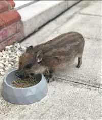 Pumbaa_Mini_Pig