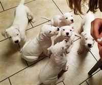 Potty Trained Dogo Argentino Puppies For Sale